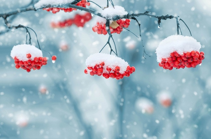 stockvault-snow-on-berries209349